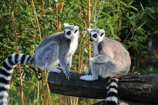 Voir les makis lors de son Voyage à Madagascar